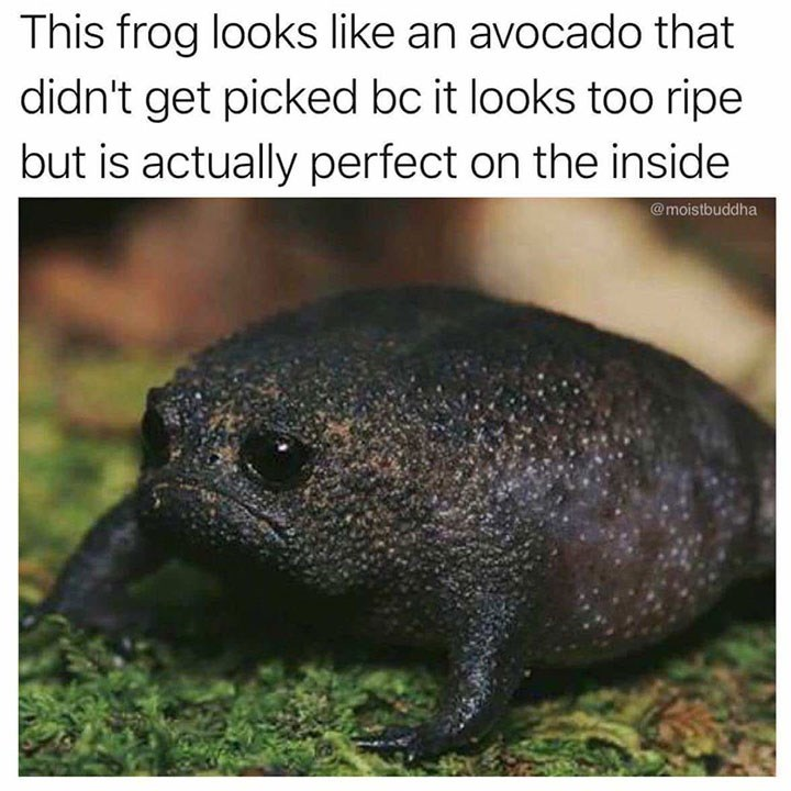 Terrestrial animal - This frog looks like an avocado that didn't get picked bc it looks too ripe but is actually perfect on the inside @moistbuddha