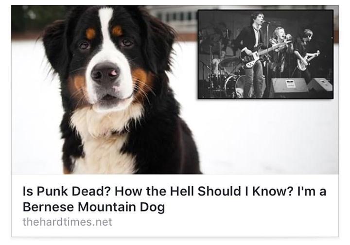 Dog - Is Punk Dead? How the Hell Should I Know? I'm a Bernese Mountain Dog thehardtimes.net