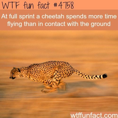 Wildlife - WTF fun fact #4158 At full sprint a cheetah spends more time flying than in contact with the ground wtffunfact.com