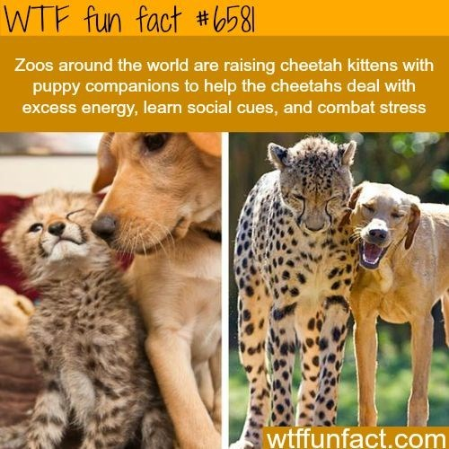 Mammal - WTF fun fact #b58 Zoos around the world are raising cheetah kittens with pupdy companions to help the cheetahs deal with excess energy, learn social cues, and combat stress wtffunfact.com