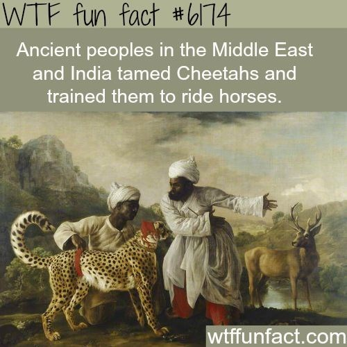 Text - WTF fun fact #l74 Ancient peoples in the Middle East and India tamed Cheetahs and trained them to ride horses. wtffunfact.com