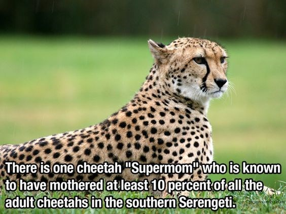 """Terrestrial animal - There is one cheetah """"Supermomwho is known to have mothered atleast 10 percent ofall the adult cheetahs in the southern Serengeti icsurecotrectb"""