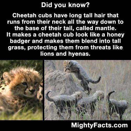 Wildlife - Did you know? Cheetah cubs have long tall hair that runs from their neck all the way down to the base of their tail, called mantle. It makes a cheetah cub look like a honey badger and makes them blend into tall grass, protecting them from threats like lions and hyenas. MightyFacts.com