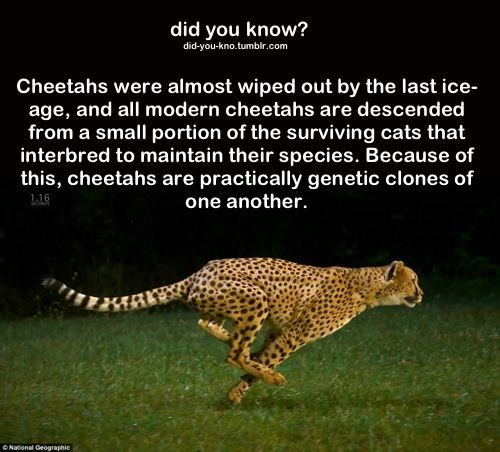 Terrestrial animal - did you know? did-you-kno.tumblr.com Cheetahs were almost wiped out by the last ice- age, and all modern cheetahs are descended from a small portion of the surviving cats that interbred to maintain their species. Because of this, cheetahs are practically genetic clones of one another. 1.16 ONational Geographic