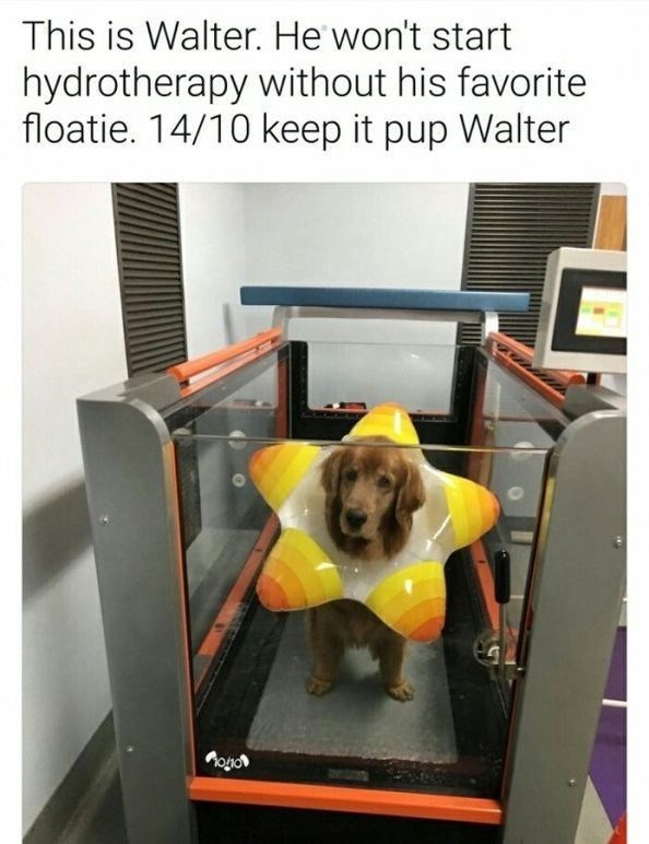 wholesome meme - Dog - This is Walter. He won't start hydrotherapy without his favorite floatie. 14/10 keep it pup Walter