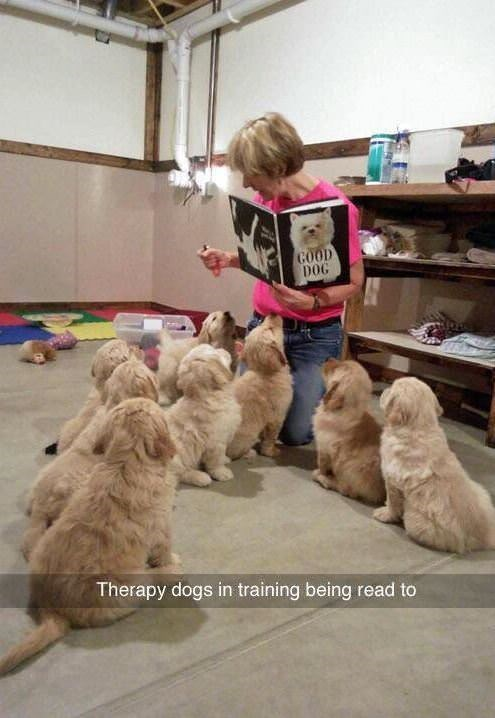 wholesome meme - Mammal - GOOD DOG Therapy dogs in training being read to