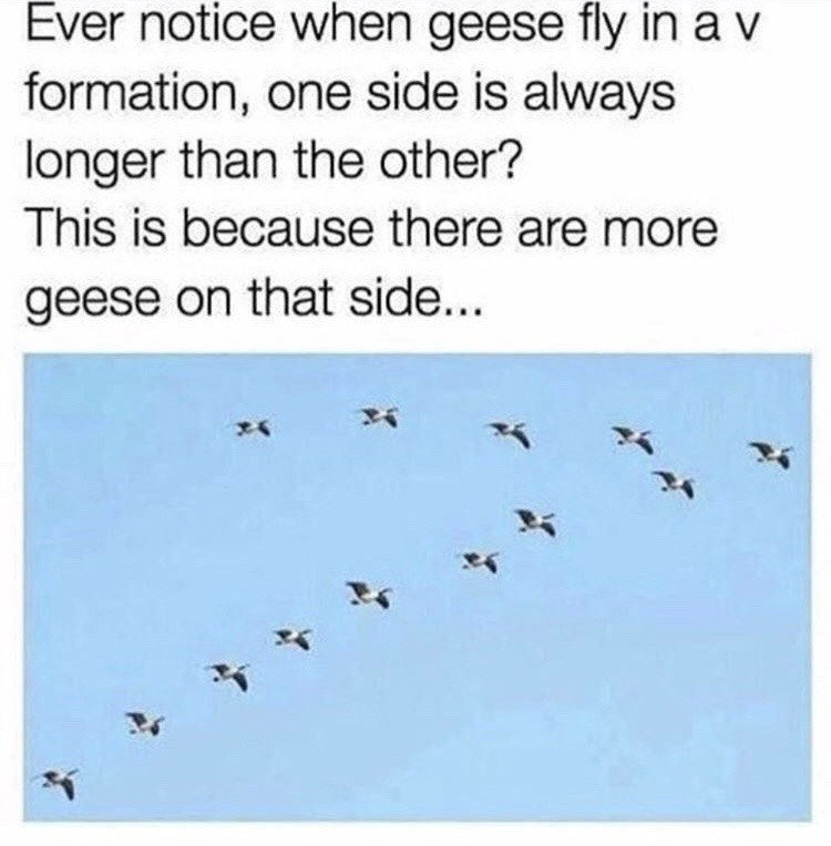 """Ever notice when geese fly in a V formation, one side is always longer than the other? This is because there are more geese on that side"""