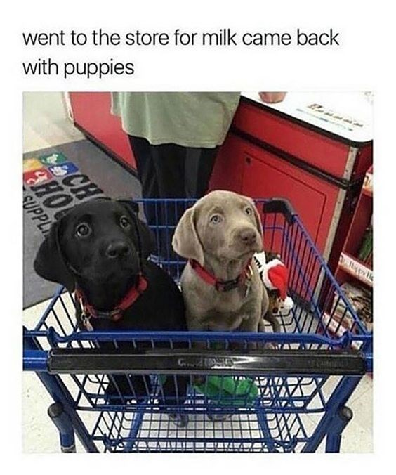 Dog - went to the store for milk came back with puppies eCH CHO CUPPL