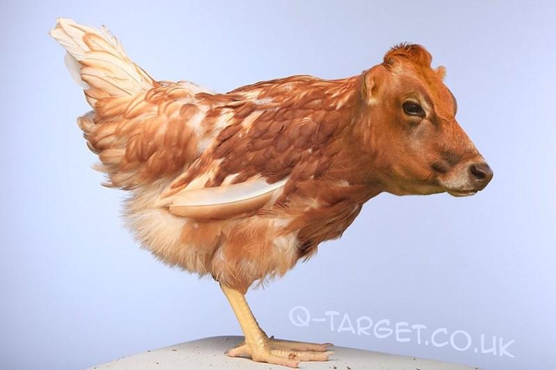 animal mashup pics - Chicken - Q-TARGET.CO.UK