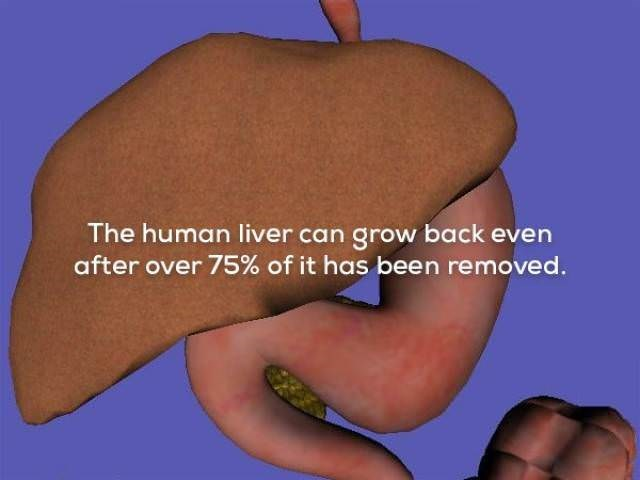 Arm - The human liver can grow back even after over 75% of it has been removed.