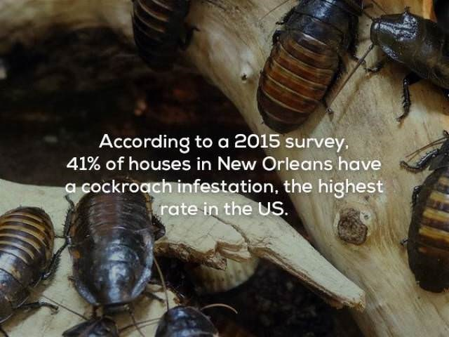 Insect - According to a 2015 survey, 41% of houses in New Orleans have a cockroach infestation, the highest rate in the US.