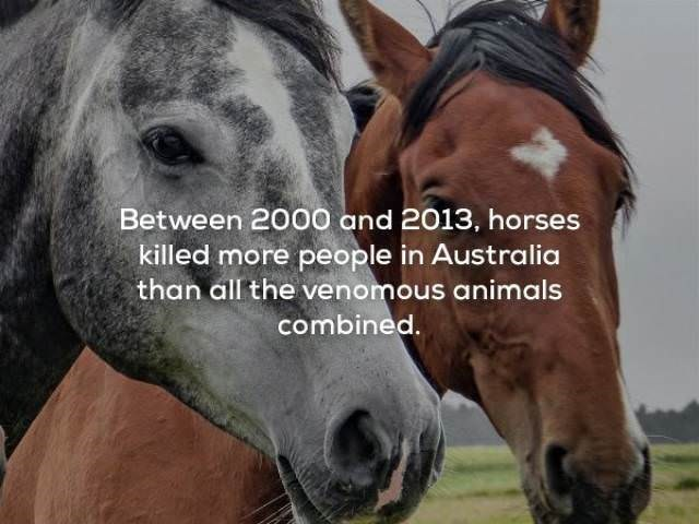 Horse - Between 2000 and 2013, horses killed more people in Australia than all the venomous animals combined.