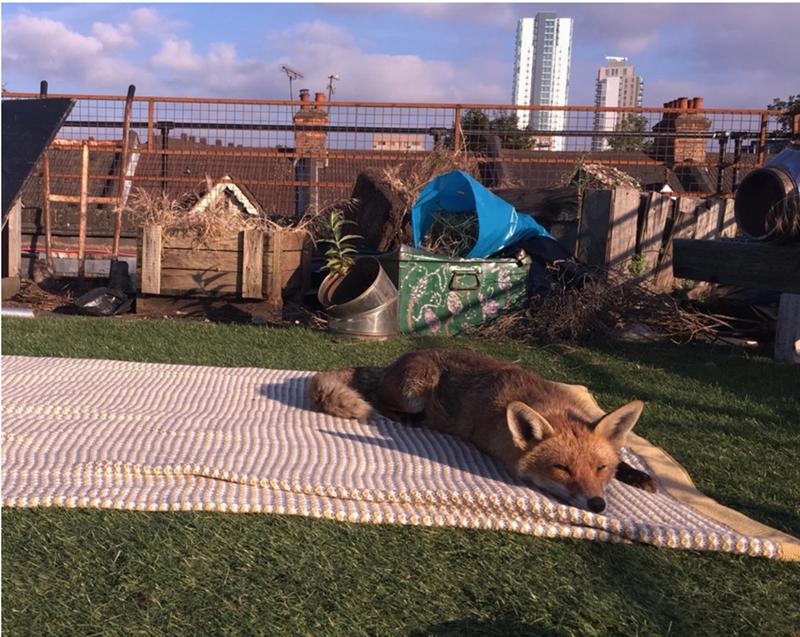 fox sunbathing