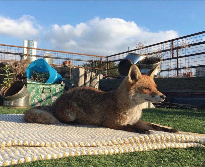 fox sunbathing - Mammal