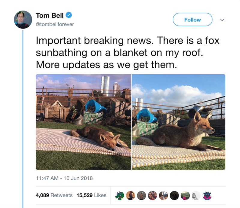 fox sunbathing - Adaptation - Tom Bell Follow @tombellforever Important breaking news. There is a fox sunbathing on a blanket on my roof. More updates as we get them. 11:47 AM 10 Jun 2018 4,089 Retweets 15,529 Likes