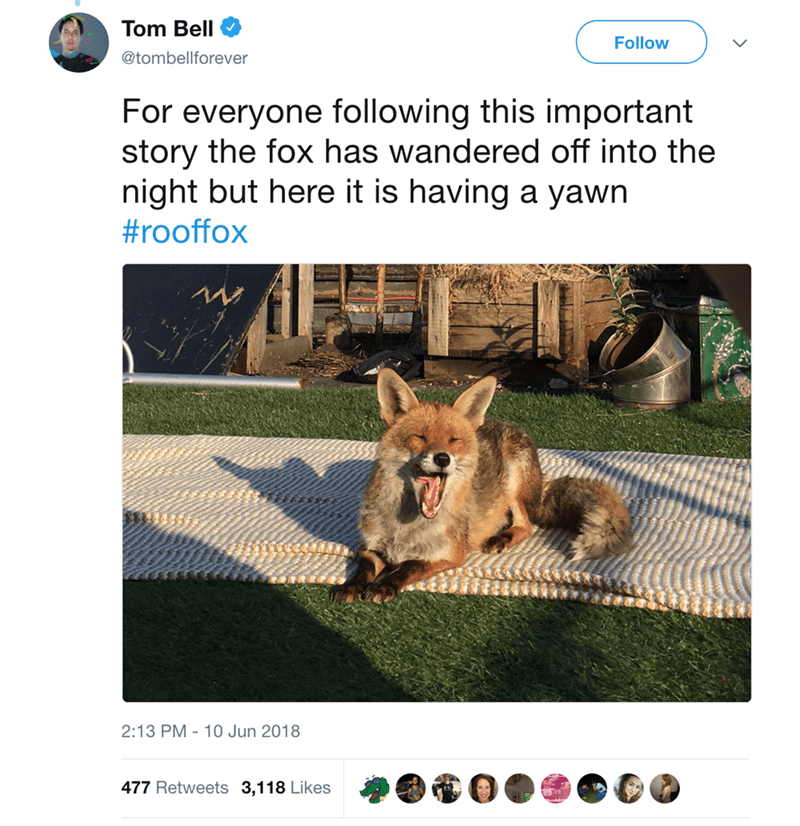 fox sunbathing - Canidae - Tom Bell Follow @tombellforever For everyone following this important story the fox has wandered off into the night but here it is having a yawn #rooffox 2:13 PM 10 Jun 2018 477 Retweets 3,118 Likes