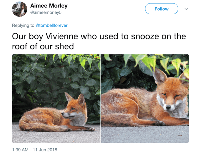 fox sunbathing - Vertebrate - Aimee Morley Follow @aimeemorley5 Replying to @tombellforever Our boy Vivienne who used to snooze on the roof of our shed 1:39 AM 11 Jun 2018
