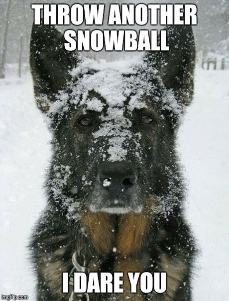 german shepherd with snow all over face dog memes