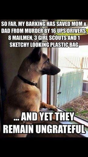 german shepherd looking out of window barking dog memes