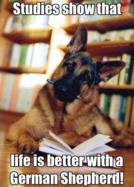 german shepherd sitting at desk with book and pen in mouth library dog memes