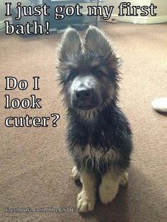 german shepherd puppy wet from bath sitting on carpet dog memes