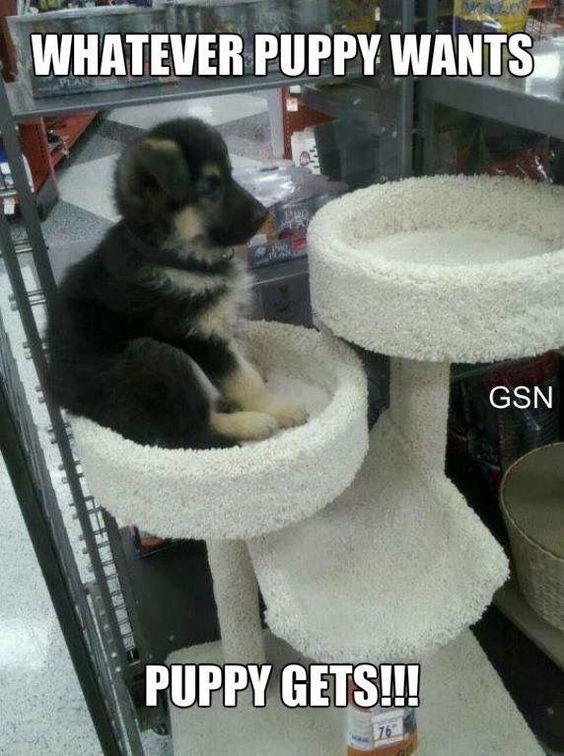 small german shepherd puppy sitting on cat climber dog memes