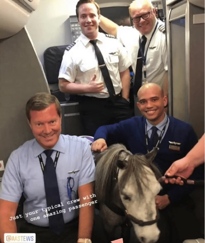 Miniature Horse american airlines service animals flight cute animals animals passengers - 9176069