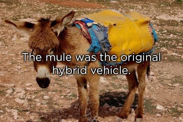 Vertebrate - The mule was the original hybrid vehicle.