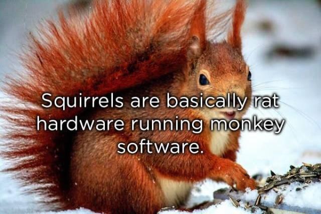 Eurasian Red Squirrel - Squirrels are basically rat hardware running monkey software.