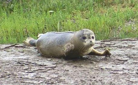seal pups river thames