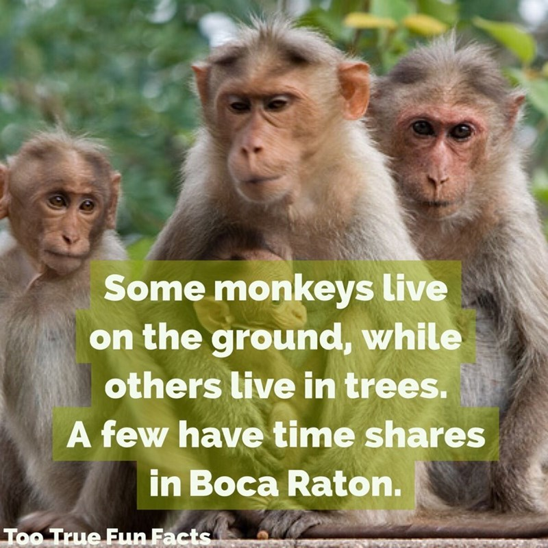 Rhesus macaque - Some monkeys live on the ground, while others live in trees. A few have time shares in Boca Raton. Too True Fun Facts