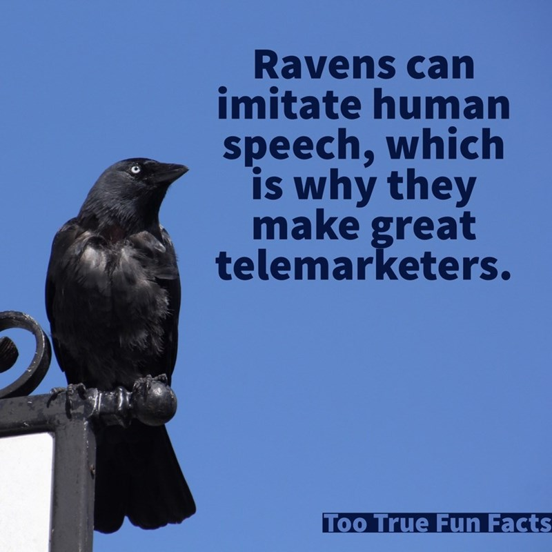 Bird - Ravens can imitate human speech,which is why they make great telemarketers. Too True Fun Facts