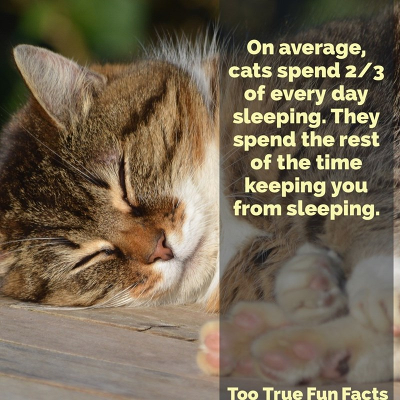 Cat - On average, cats spend 2/3 of every day sleeping. They spend the rest of the time keeping you from sleeping. Too True Fun Facts