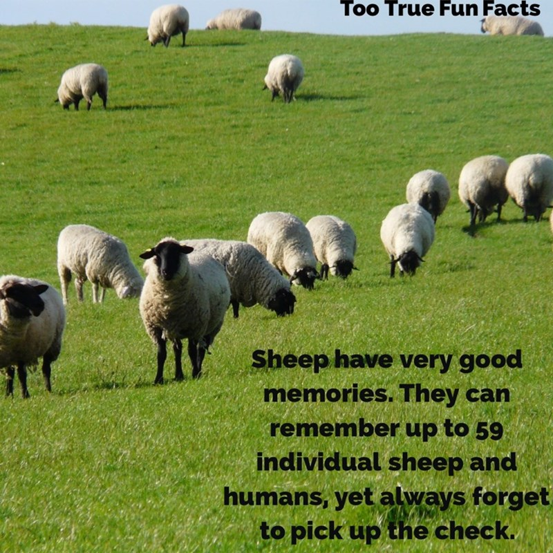 Vertebrate - Too True Fun Facts Sheep have very good memories. They can remember up to 59 individual sheep and humans, yet always forget to pick up the check.