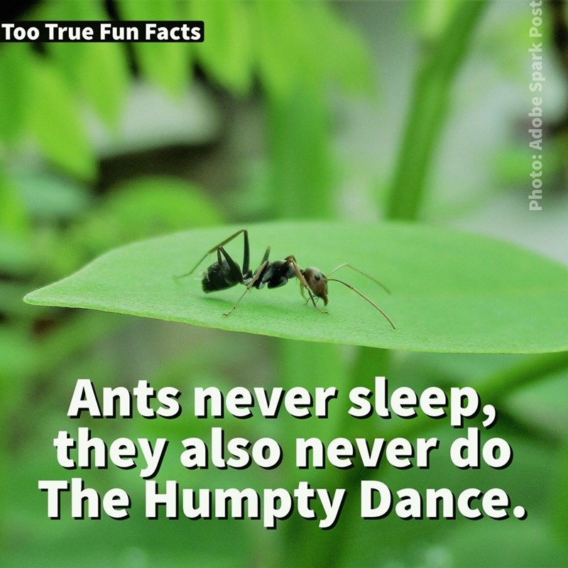 Insect - Too True Fun Facts Ants never sleep, they also never do The Humpty Dance. Photo: Adobe Spark Post
