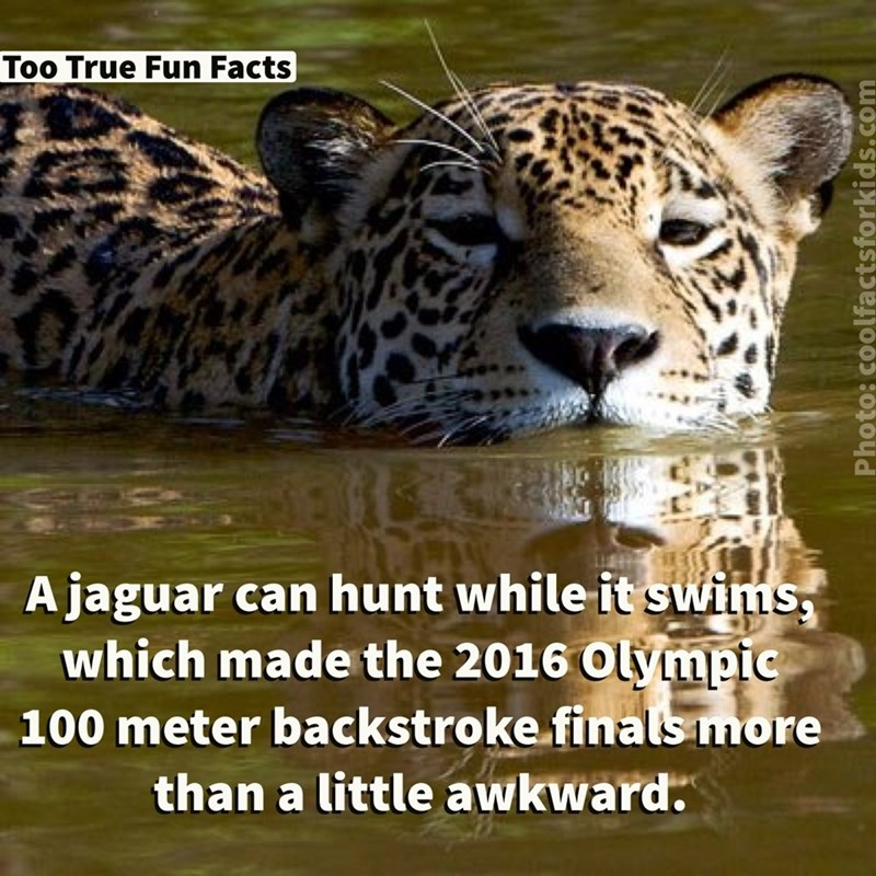 Terrestrial animal - Too True Fun Facts A jaguar can hunt while it swims which made the 2016 Olympic 100 meter backstroke finals more than a little awkward. Photo: coolfactsforkids.com