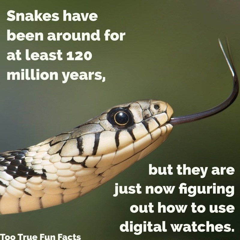 Snake - Snakes have been around for at least 120 million years, but they are just now figuring out how to use digital watches. Too True Fun Facts