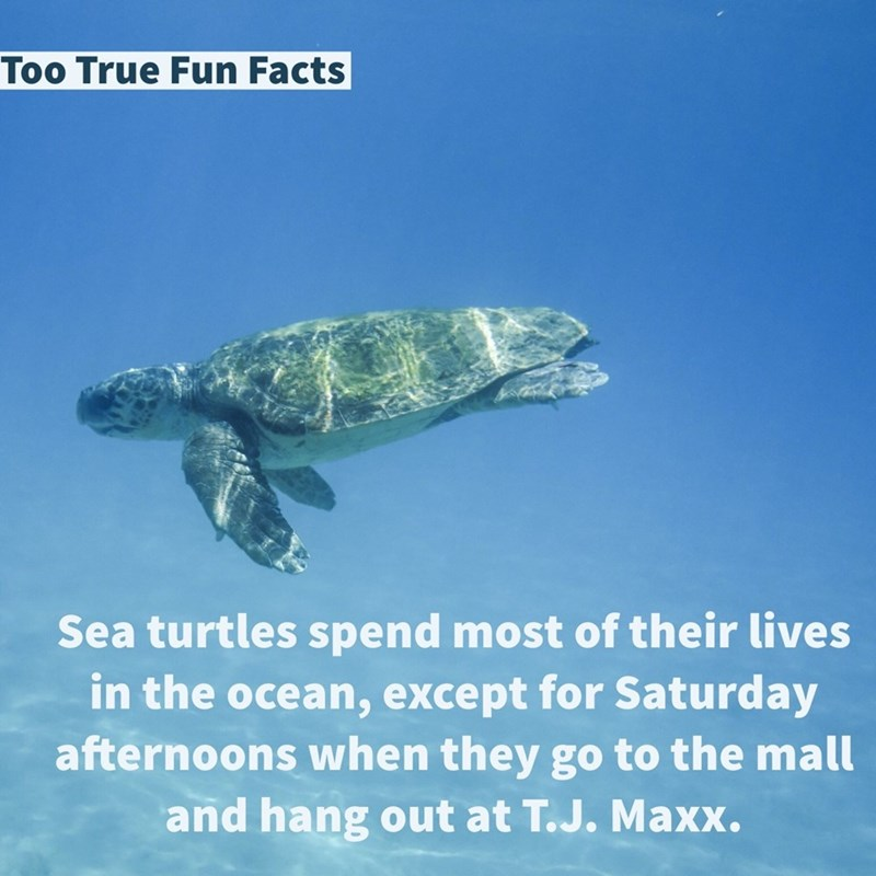 Sea turtle - Too True Fun Facts Sea turtles spend most of their lives in the ocean, except for Saturday afternoons when they go to the mall and hang out at T.J. Maxx.