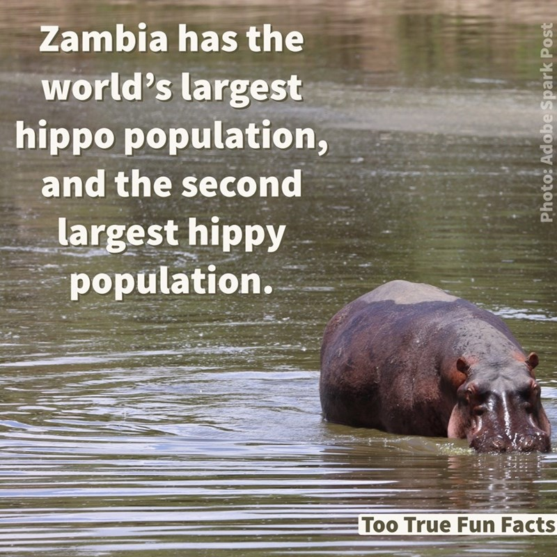 Water - Zambia has the world's largest hippo population, and the second largest hippy population. Too True Fun Facts Photo: Adobe Spark Post
