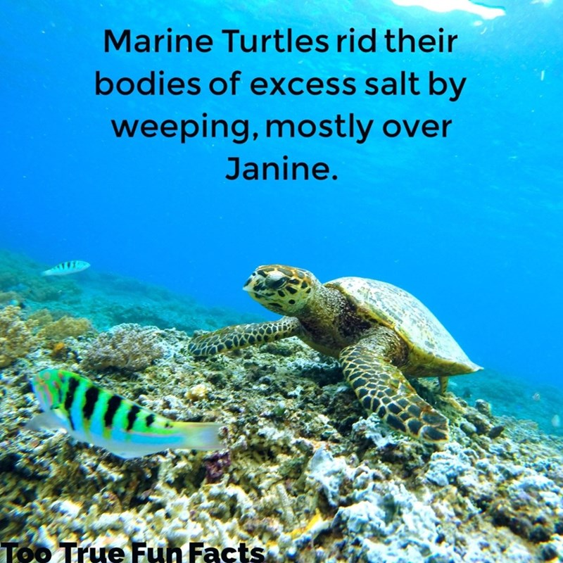 Sea turtle - Marine Turtles rid their bodies of excess salt by weeping, mostly over Janine. Too True Fun Facts