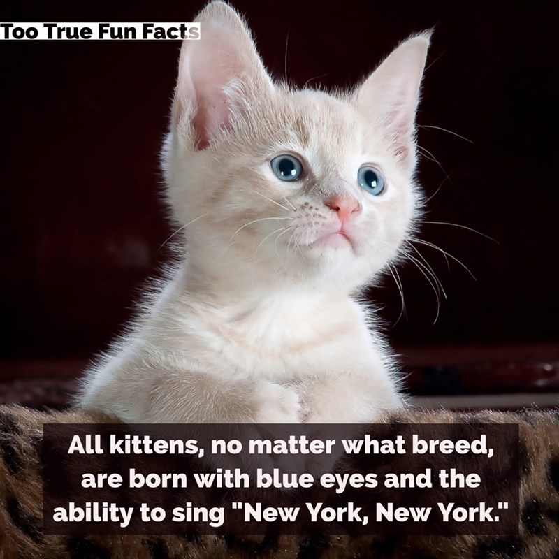"""Cat - Too True Fun Facts All kittens, no matter what breed, are born with blue eyes and the ability to sing """"New York, New York."""""""
