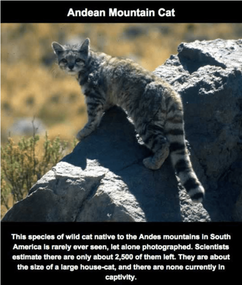 Vertebrate - Andean Mountain Cat This species of wild cat native to the Andes mountalns in South America is rarely ever seen, let alone photographed. Sclentists estimate there are only about 2,500 of them left. They are about the size of a large house-cat, and there are none currently in captivity