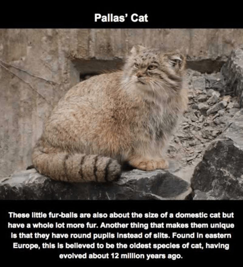 Mammal - Pallas' Cat These little fur-balls are also about the size of a domestic cat but have a whole lot more fur. Another thing that makes them unique is that they have round pupls instead of slits. Found in eastern Europe, this is believed to be the oldest species of cat, having evolved about 12 million years ago.