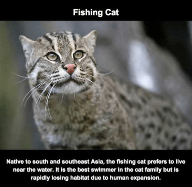 Mammal - Fishing Cat Native to south and southeast Asia, the fishing cat prefers to live near the water. It is the best swimmer in the cat family but is rapidly losing habitat due to human expansion.