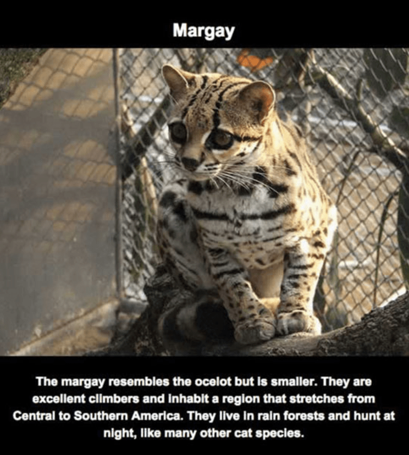 Vertebrate - Margay The margay resembles the ocelot but is smaller. They are excellent climbers and inhablit a region that stretches from Central to Southern America. They live in rain forests and hunt at night, lke many other cat species.