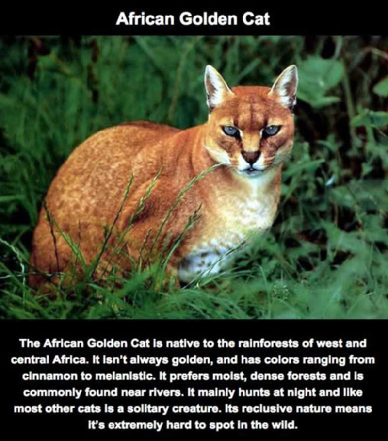 Mammal - African Golden Cat The African Golden Cat is native to the rainforests of west and central Africa. It isn't always golden, and has colors ranging from cinnamon to melanistic. It prefers moist, dense forests and is commonly found near rivers. It mainly hunts at night and like most other cats is a solitary creature. Its reclusive nature means It's extremely hard to spot in the wild.