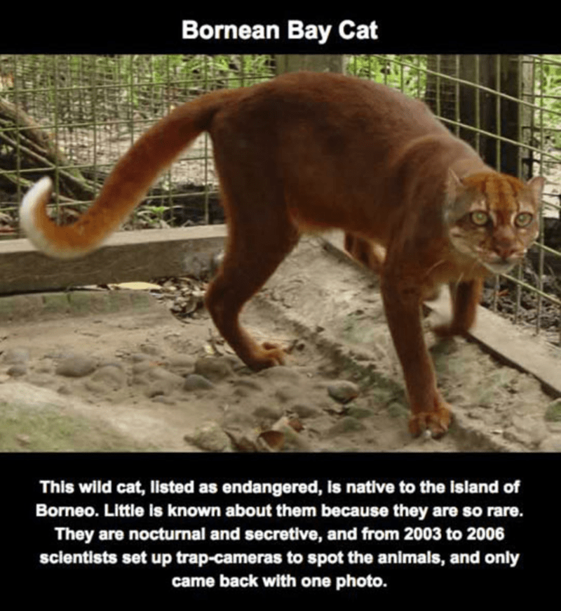 Photo caption - Bornean Bay Cat This wild cat, listed as endangered, is native to the island of Borneo. Little is known about them because they are so rare. They are nocturnal and secretive, and from 2003 to 2006 sclentists set up trap-cameras to spot the animals, and only came back with one photo.