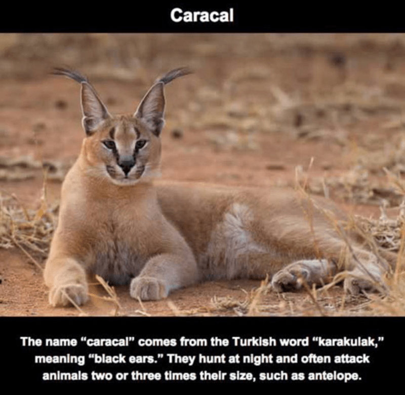"""Vertebrate - Caracal The name """"caracal"""" comes from the Turkish word """"karakulak,"""" meaning """"black ears."""" They hunt at night and often attack animals two or three times their size, such as antelope."""