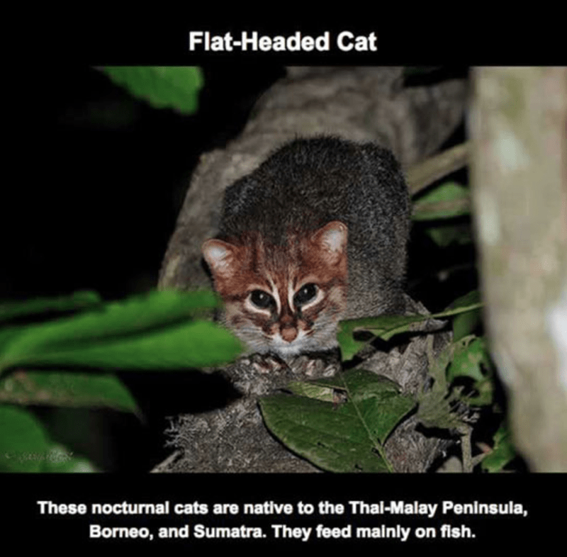 Vertebrate - Flat-Headed Cat These nocturnal cats are native to the Thal-Malay Peninsula, Borneo, and Sumatra. They feed mainly on fish.