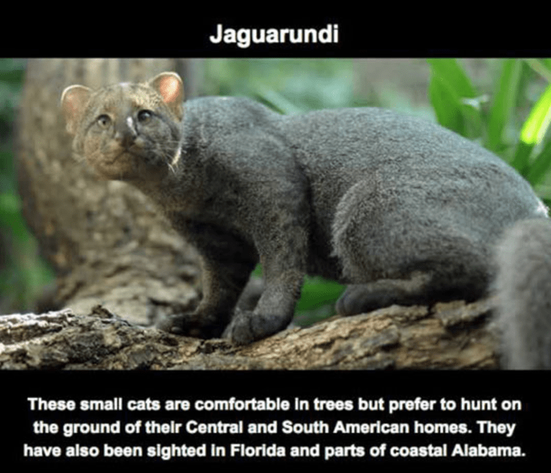 Terrestrial animal - Jaguarundi These small cats are comfortable in trees but prefer to hunt on the ground of their Central and South American homes. They have also been sighted in Florida and parts of coastal Alabama.